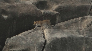 Coexistence with the leopards - Bera, Rajasthan