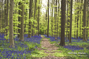 Hallerbos: A magical blue forest near Brussels, Belgium