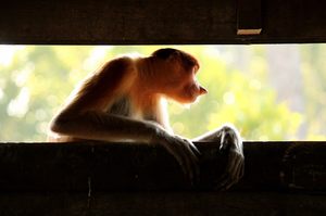 Labuk Bay Proboscis Monkey Sanctuary, Sepilok