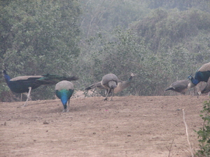 Birds and Beasts of Bharatpur
