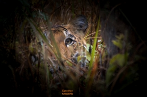 The Return of Tigress - Sharmeeli (Corbett Queen)