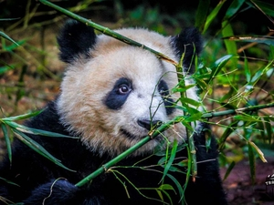Chengdu: Home of the Giant Panda.