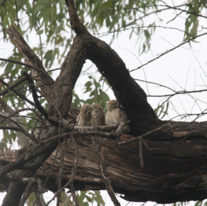 As these spotted owls got Cozy!