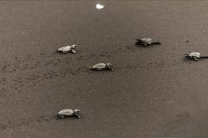 Velas turtle fest