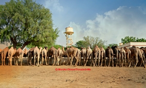 Lesser Known: Time with Camels near Bikaner