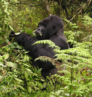 Gorilla Trekking Experience For The Handicapped