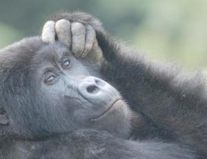 Gorilla Trekking Safari In Bwindi National Park