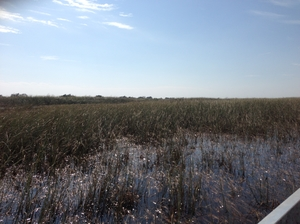Everglades - Home for thousands of alligators