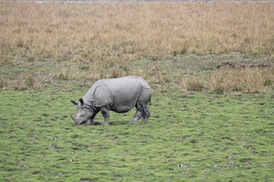 Pobitora Wildlife Sanctuary - A rhino here and a rhino there
