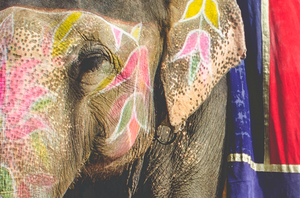 Indian Elephants: God or Slave