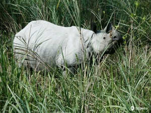 In Pursuit Of A One-Horned Rhino In Assam
