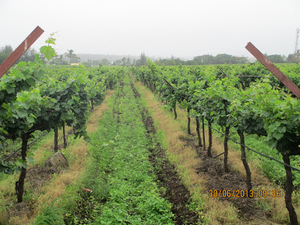 Sula vineyard: France in your backyard