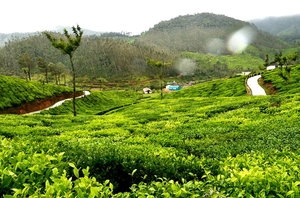 God's Own Country - Munnar