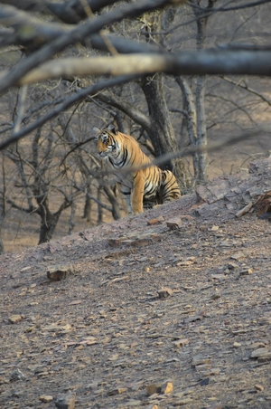 Tryst with the Tigers of Ranthambhore