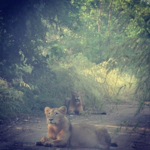 Wandering in the Wild Part II - Sasan Gir