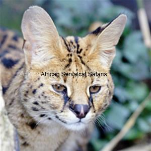 African Servalcat Safaris Travel Blogger