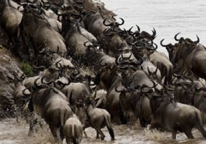 Experience the Great African Migration: Masai Mara