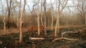 Tiger Trails in Bandipur