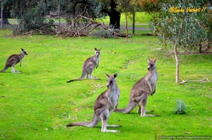 Melbourne – The kangaroo land