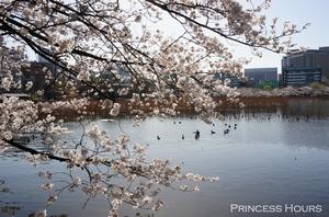 Sakura Viewing at Ueno Park