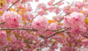 造幣局の桜 一日の旅