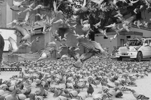 Pigeons of Jaipur: Micro-observations of a Pink City Traveller