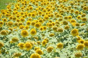 Sunflowers of Sundarapandiyapuram
