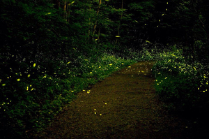 Camping around fireflies