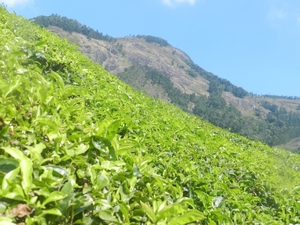 World highest tea plantation