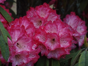 Through the forest of Rhododendrons...