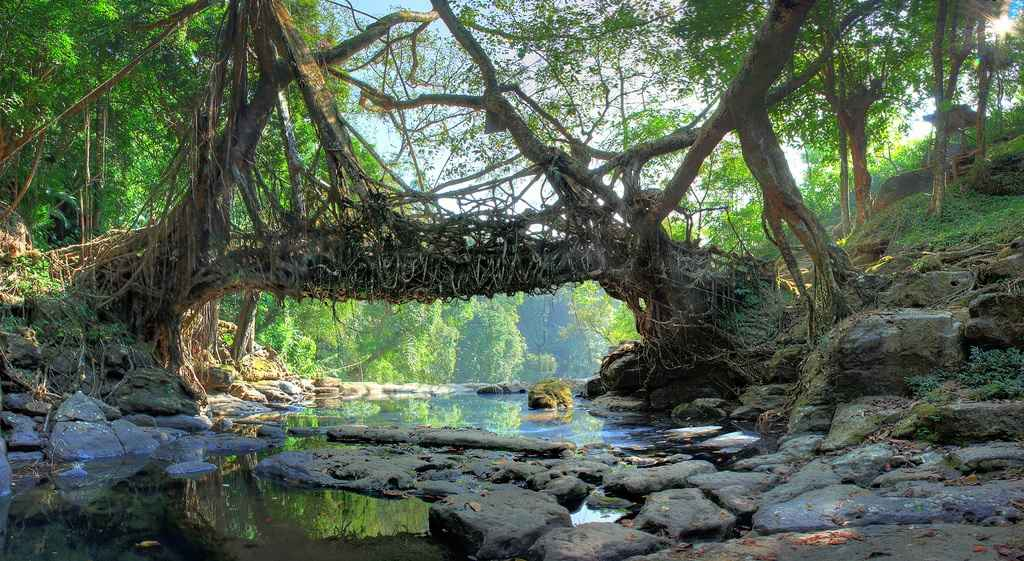 Living Tree Root Bridges in India