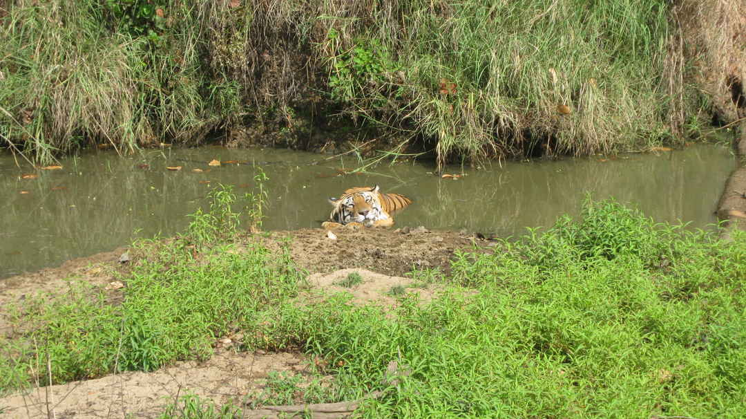 Kanha Tiger Reserve #the tiger state of India #Madhya Pradesh #BestNationalPark2019