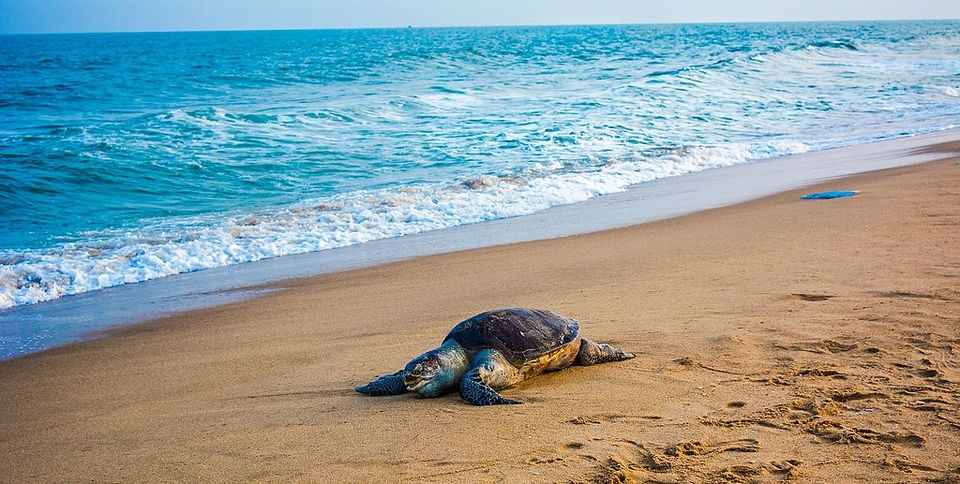 This beach in Odisha is world39s largest nesting ground for ...